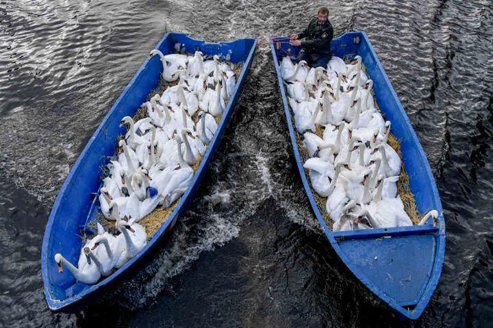 Schwanenvater Olaf Nieß bringt die Tiere mit dem Boot ins Winterquartier.