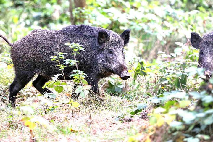 Schwarzkittel im Wald von Wermsdorf. Derzeit wird auf Sachsens Wildschweine besonders intensiv Jagd gemacht.Foto: dpa