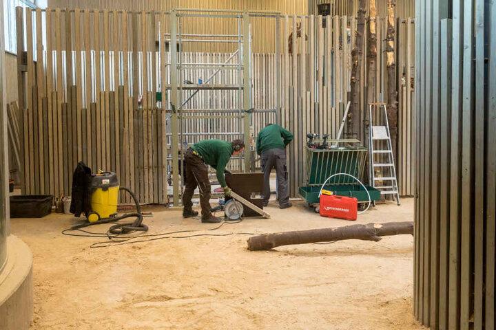 Die Handwerker zimmern derzeit im Giraffenhaus an neuen Futtertraufen. Einer  der Langhälse schaut neugierig zu.