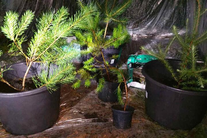 Kurzerhand tauschten die Beamten die Pflanzen gegen Kiefern aus.