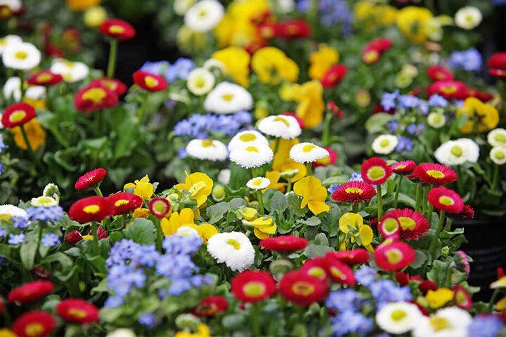 Gänseblümchen sind pflegeleicht und gut geeignet für Beete und Gefäße. Die beliebte Blume gibt es mit Blüten in Weiß, Pink oder Rot.