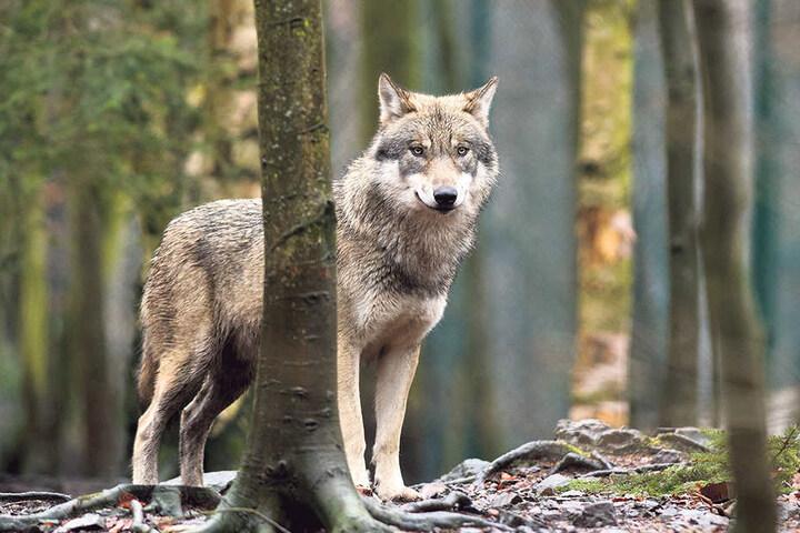Wolfsmassaker in Sachsen: Der Sachsen-CDU ist der Wolf zu stark geschützt.