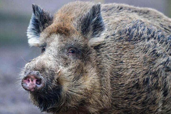 Wildschweine verbreiten die Afrikanische Schweinepest an Sachsens Grenzen.