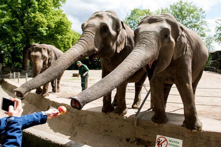 Auch heute ist Hagenbecks Tierpark ein beliebtes Ausflugsziel: Besucher füttern in Hagenbecks Tierpark Elefanten im Außengehege. Am 10.06.2019 wäre der 175. Geburtstag von Carl Hagenbeck, Gründer des Zoos, gewesen.