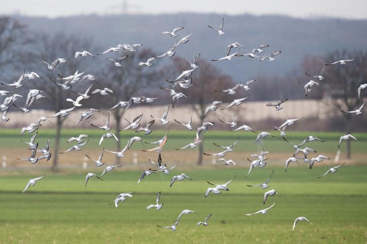 Der Angeklagte streute giftiges Futter auf seinem Feld aus, 20 Tauben starben daran. (Archivbild)