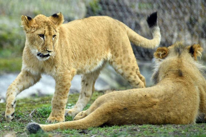 Insgesamt 886 Tiere leben im Zoo, darunter auch Löwen.