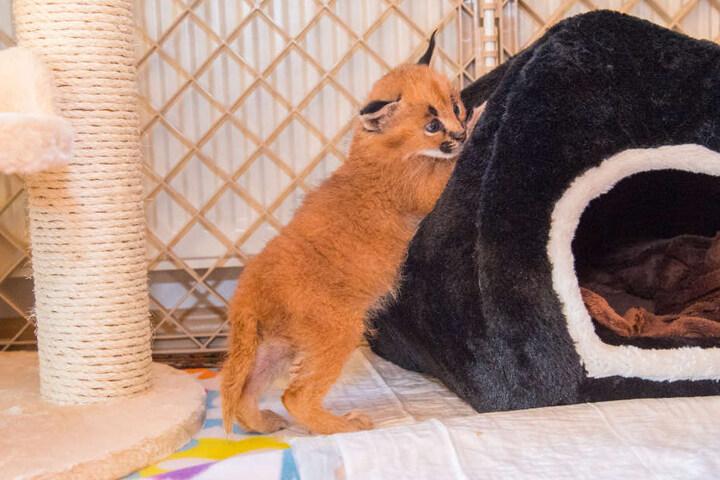 800 Gramm wiegt das Wildkatzenbaby und ist 30 Zentimeter groß.