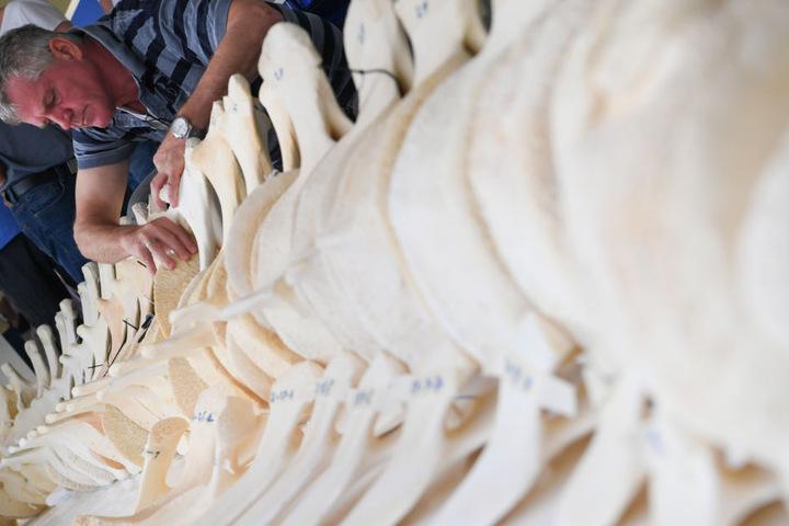 Das Skelett soll ab Januar 2019 in einem Hörsaal der Gießener Uni zu sehen sein.