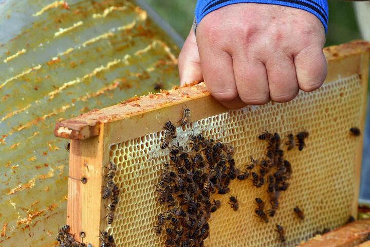 Vorsichtig öffnen der Imker einen Bienenstock und entnimmt eine Wabe. Bleibt der Deckel offen, können Seuchen eingetragen werden und das Volk geht zugrunde.