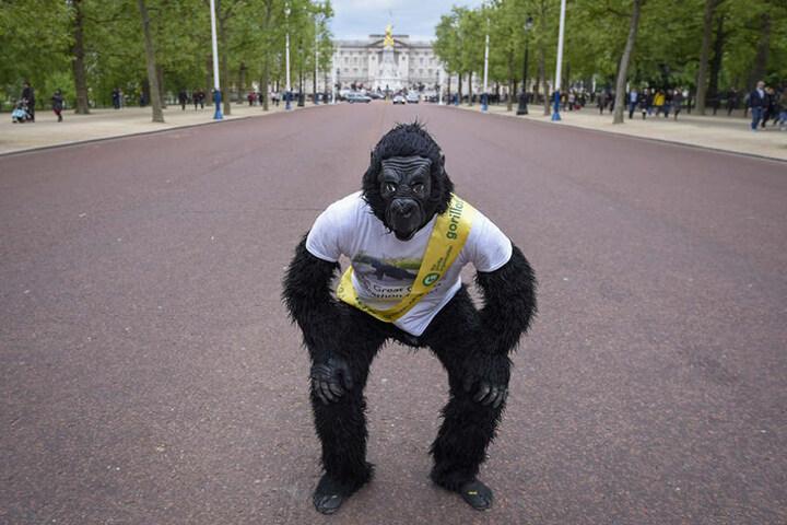 Sechs Tage brauchte der Polizist im Gorilla-Kostüm für die Strecke.