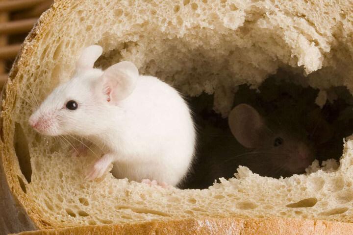 Käfer und Mäuse wurden in einer Backstube gefunden. (Symbolbild)