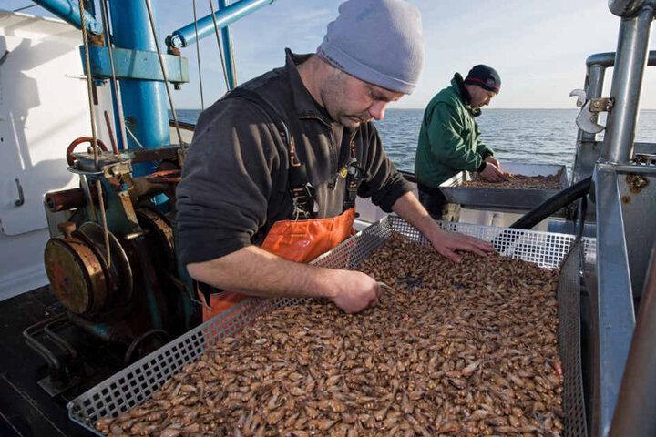 Krabbenfischer sortieren bereits auf dem Kutter frisch gefangene und bereits gekochte Krabben.