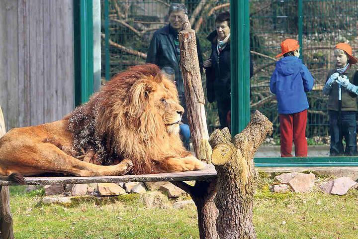 Frühjahrsputz im Tierpark: Keiner  traute sich, Löwe Malik zu kämmen.