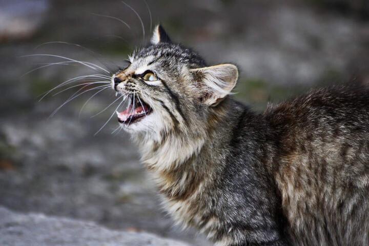 Eigentlich fauchen Katzen, wenn Gefahr droht. Doch nicht jeder Übeltäter lässt sich davon abschrecken.