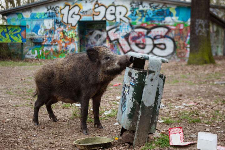Ein Wildschwein bei der Futtersuche in Berlin-Tegel. (Archivbild)