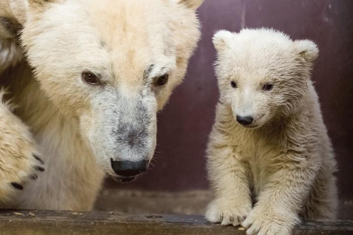 Eisbär-Mutter Tonja und der kleine Eisbär Fritz.
