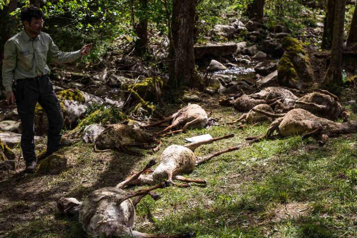 Nicht alle Tiere wurden durch den Wolf getötet. Einige ertranken in einem Fluss.