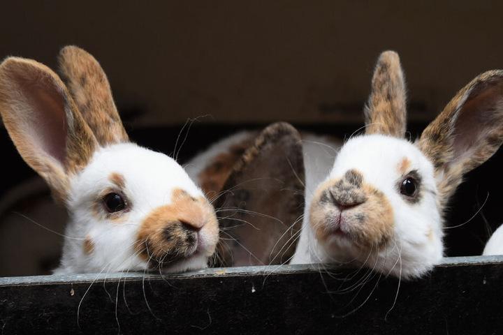 Hasen gucken aus ihrem Käfig. (Symbolfoto)