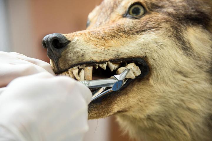 Nach der Entnahme der erste Schock: Die Zähne sind aus Elfenbein.