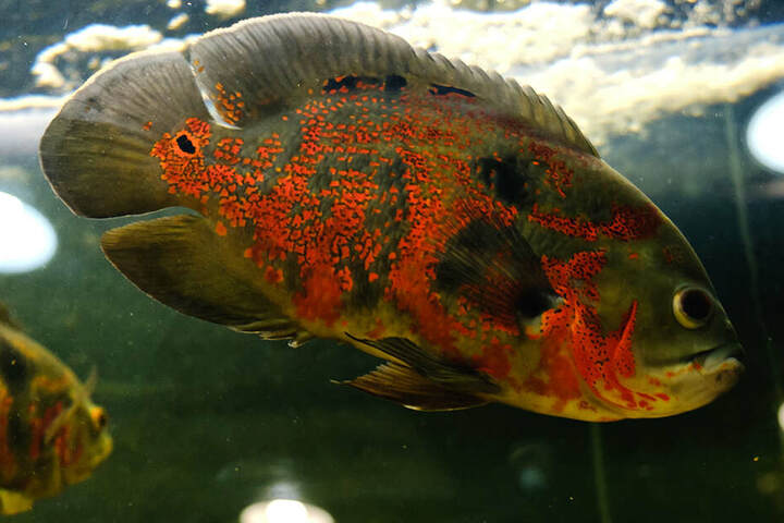 Der Oskarfisch fühlt sich in Süßgewässern am heimischsten.