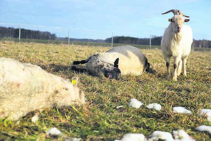 Der Ziegenbock überlebte den Angriff, er konnte fliehen. Sechs Schafe hatten nicht so viel Glück.