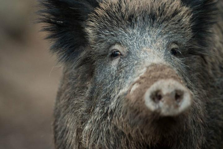 Wildschweine sind vor allem in der Dämmerung aktiv.
