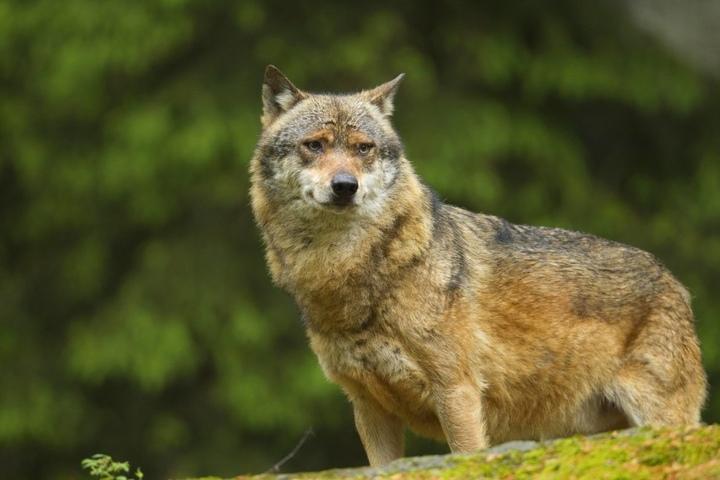 Der Wolf zurück im Erzgebirge: Auf tschechischer Seite tappte er zweimal in  die Fotofalle.
