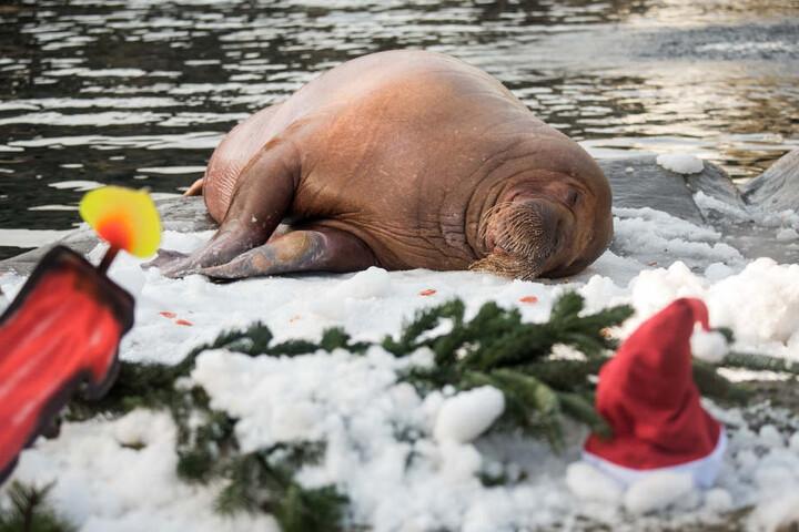 Ein Walross wälzt sich im weihnachtlich geschmückten Gehege im Schnee aus einer Schneemaschine.