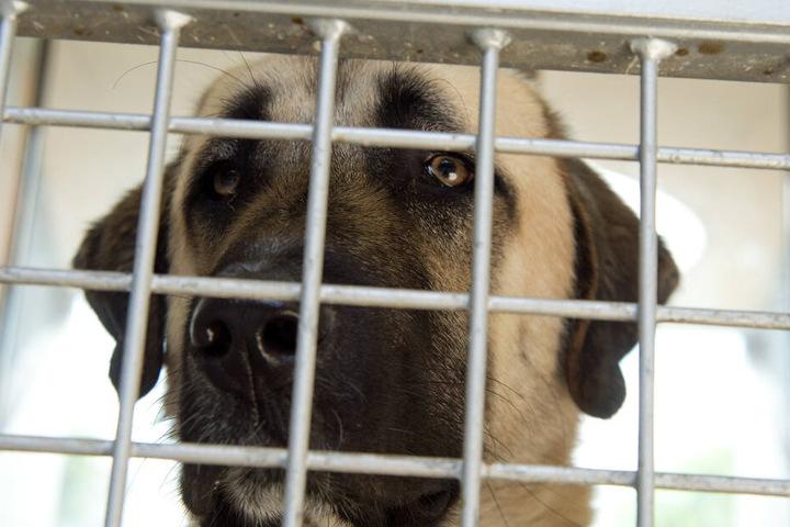 Ein Hund der Rasse Kangal in einem Käfig. (Symbolbild)