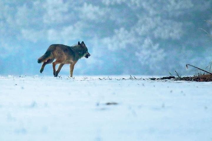"""Wölfe sind in der Lausitz keine Seltenheit mehr. Dem Menschen kommen sie aber in der Regel nicht nahe. Außer """"Pumpak"""", der sich zu sehr an die Bevölkerung gewöhnt hat."""