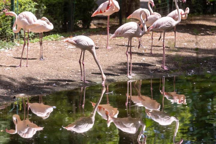 """Pink mit Überzeugung: Bei Flamingos gesellen sich auch mal zwei Männchen zusammen. Am 19. und 20. Juli soll es Tierpark-Führungen zu """"Homosexualität im Tierreich"""" geben."""