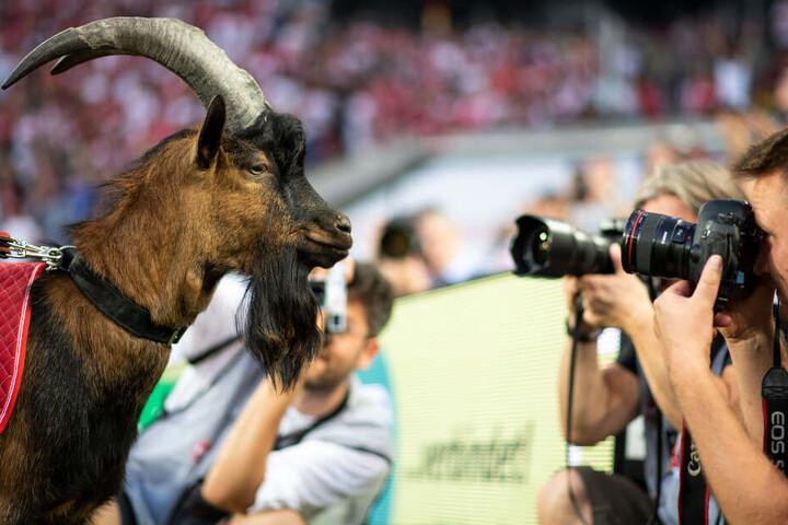 Der Geißbock ist seit dem Sommer das neue Maskottchen des 1. FC Köln und löste seinen langjährigen Vorgänger Hennes VIII. ab.