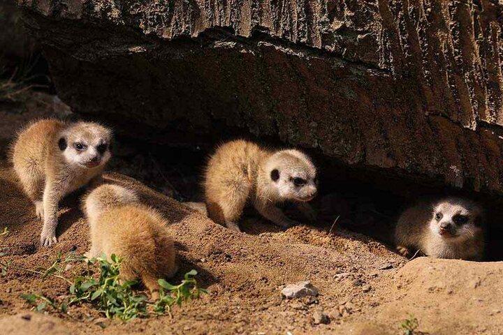 Neugierig erkunden die Erdmännchenbabys das Höhlen-System der Sippe.