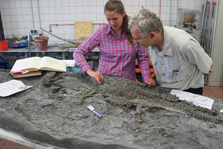 Die Paläontologen Tanja Wintrich und Martin Sander von der Universität Bonn untersuchen das Skelett eines Plesiosauriers.