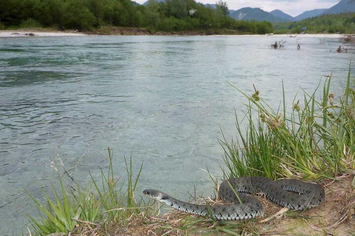Eine Alpen-Barrenringelnatter (Natrix helvetica) an der oberen Isar nahe des Sylvenstein-Stausees. Die bisher in Deutschland unbekannte Schlange haben Forscher in der Alpenregion Bayerns entdeckt.