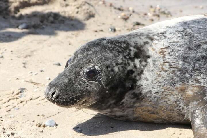Bei der Robbe handelte es sich um ein älteres Tier.
