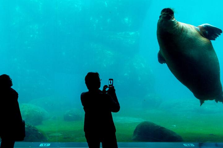 Besucher des Tierparks können den Walrosse beim Schwimmen durch eine Glasscheibe zusehen.