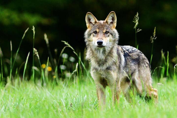 Der Wolf hätte besser im hohen Gras stehen bleiben sollen (Symbolbild).