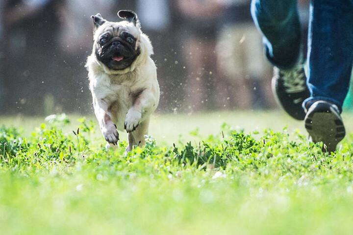 Beim Berliner Mopstreffen werden am Samstagnachmittag die schnellsten und langsamsten Tiere gekürt. (Symbolbild)