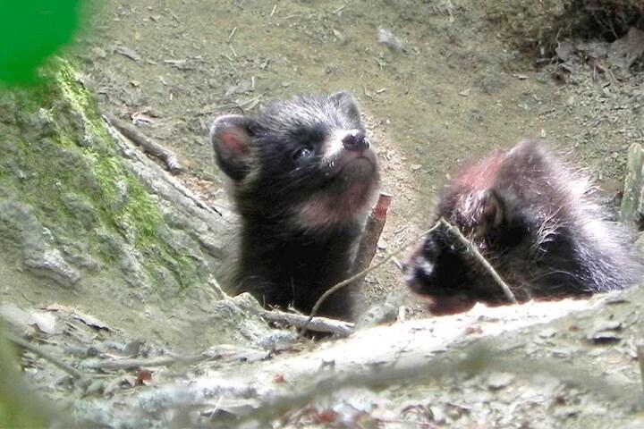 Ist die Luft rein? Vorsichtig trauten sich diese Marderhund-Welpen aus ihrem Bau heraus, wovor die Naturbeobachter still mit Kamera ausharrten.