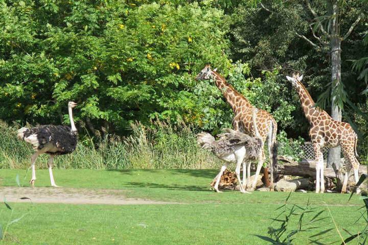 Giraffen und Strauße dürfen wieder ins Außengehege.