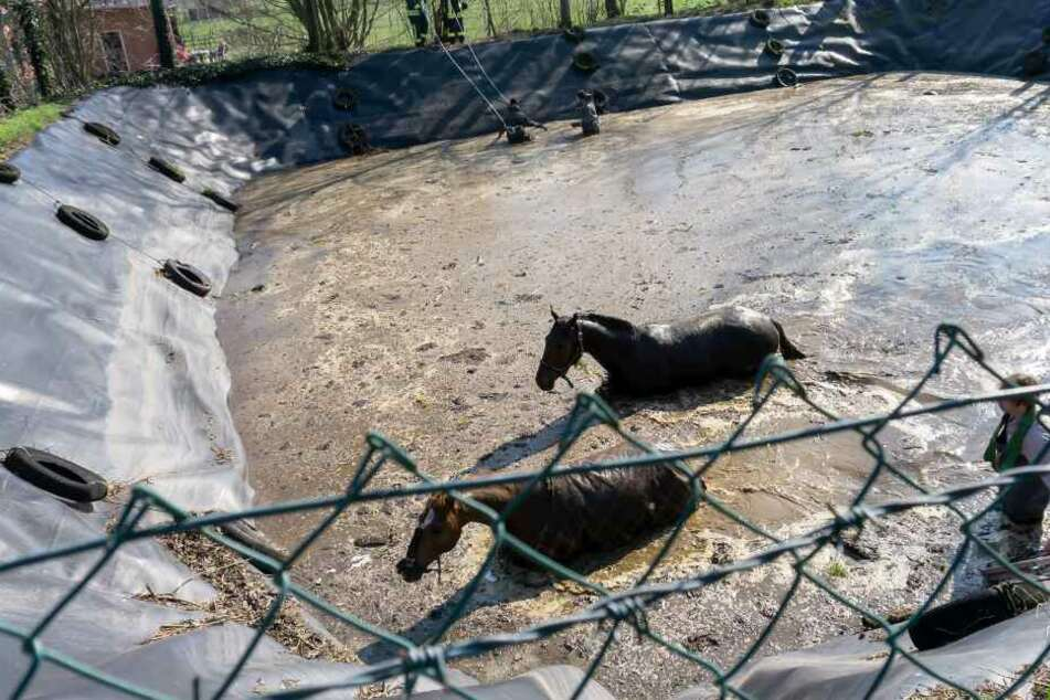Ein Tierarzt kümmerte sich um das Wohl der Tiere, während diese durch die Jauche liefen.
