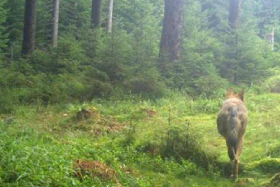 Ein Wolf ist im Sommer in eine Fotofalle bei Tellerhäuser getappt.