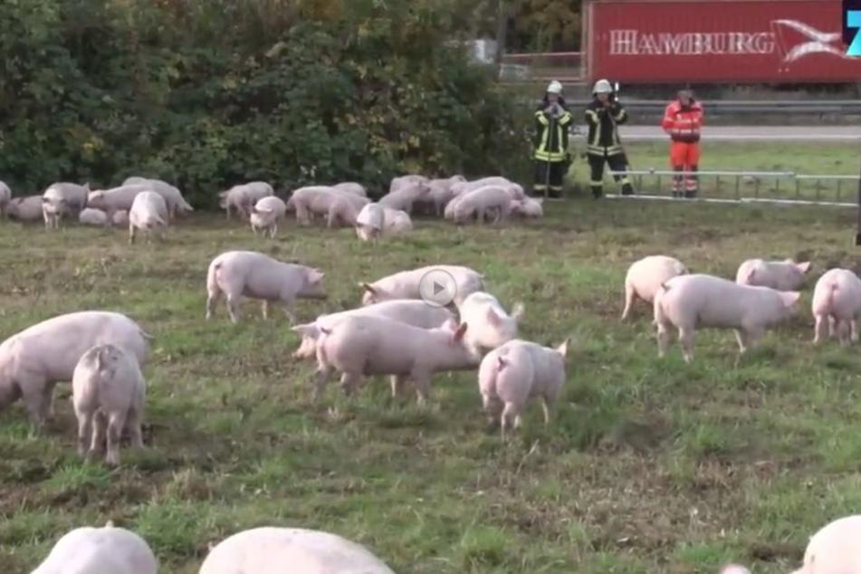 Die Schweine verharrten auf einer Wiese neben der Autobahn, einige verendeten im umgekippten Transporter.