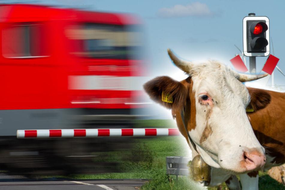 Drei Kühe brechen aus und laufen weg, zwei überleben den Ausflug nicht