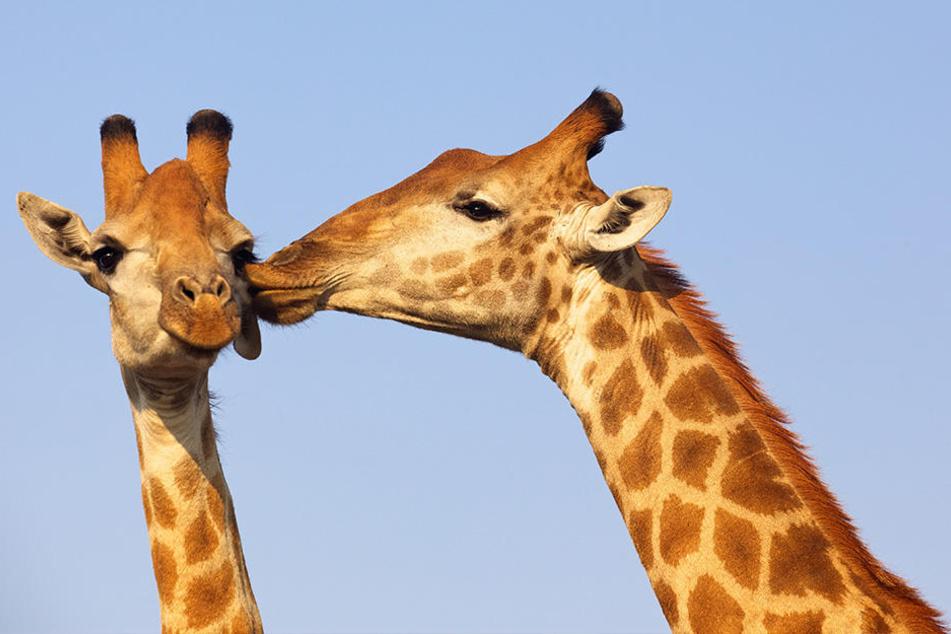 Wissenschaftler sind unsicher, ob das Küssen unter Tieren ein Liebesritual ist oder der gegenseitigen Fütterung dient.