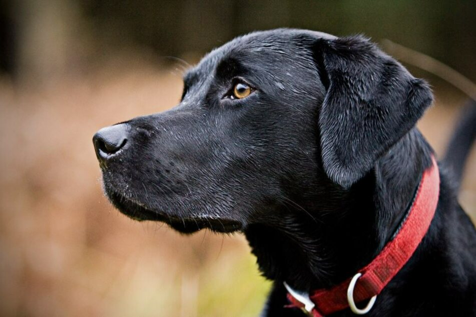 Der Labrador wurde so schwer verletzt, dass er noch an der Unfallstelle verstarb. (Symbolbild)