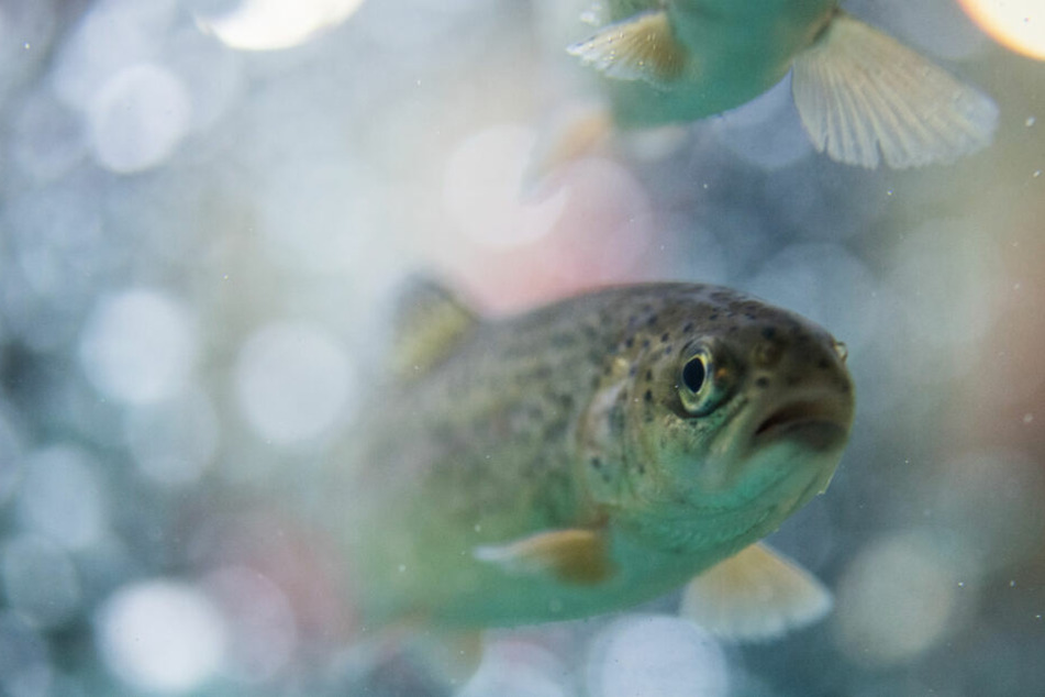 Chemie-Verseuchte Fische: Haben die Behörden Mist gebaut?