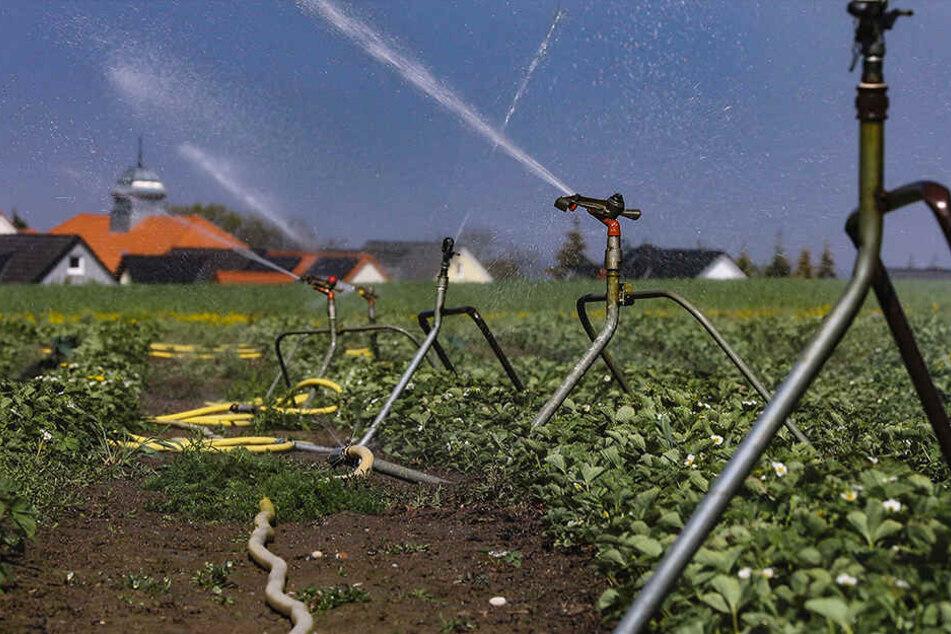 Dürre! Bei Moritzburg liefen die Bewässerungsanlagen auf den Feldern bereits gestern auf Hochtouren.