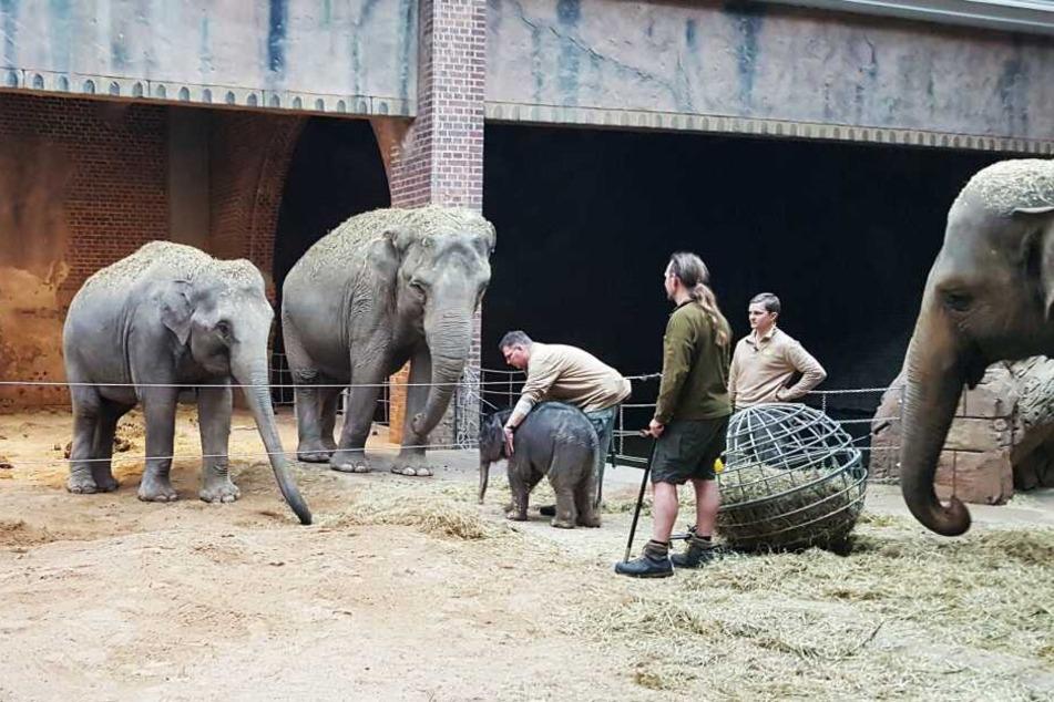 Rund um die Uhr kümmern sich die Pfleger im abgesperrten Elefantenhaus um Mutter Hoa und ihren kleinen Bullen. Der Zoo hofft, dass die Aufzucht im dritten Anlauf gelingt.